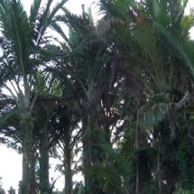 Masyarakat Yerisiam Gua Berjuang Mengembalikan Dusun Sagu Keramat